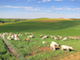 Grazing-Grains-Brings-Both-Ecological-and-Economic-Benefits