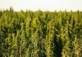 Colorado-Hemp-for-Cattle-Feed-Study